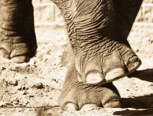 その代わりに本物の「象の脚」( Elephant-Foot-Roller ) を使う