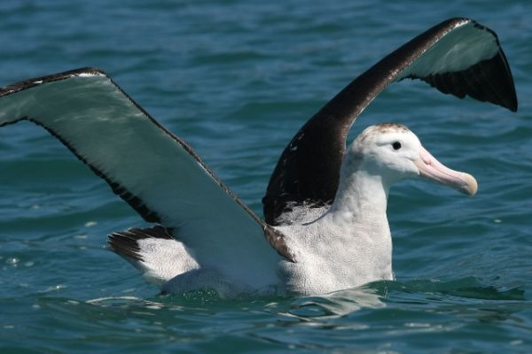 史上最大の飛べる鳥、化石の調査...