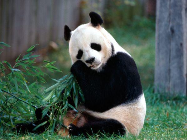 「習主席の印象はパンダのように温和に見える !」.....いひひ !