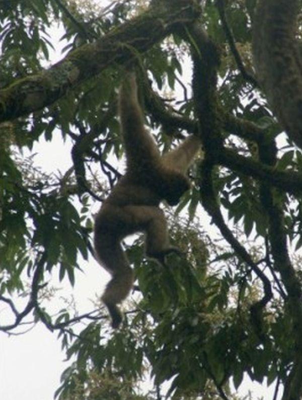 「スカイウォーカー・フーロック・テナガザル」...木の枝を自由に動き回るという