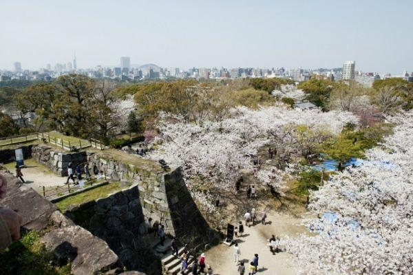 福岡城城跡の桜満開